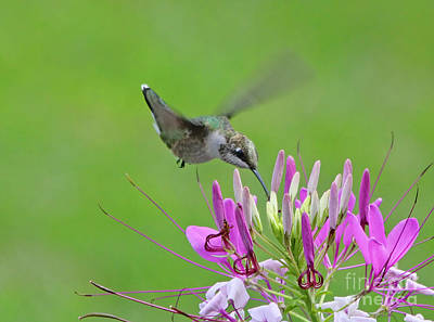 Cleome Photograph - Hummingbird by Jack Schultz