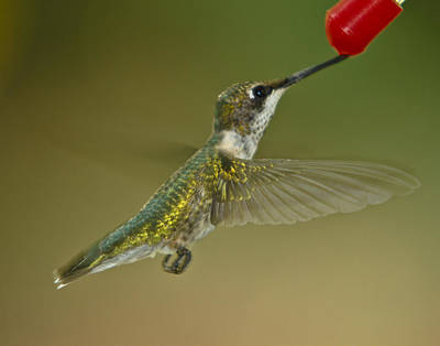 Photograph - Hummingbird by Robert L Jackson
