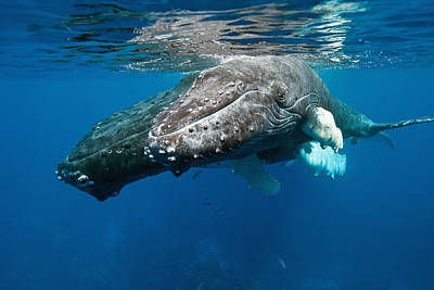 Parental Care Photograph - Humpback Whale And Calf by Andrew J. Martinez