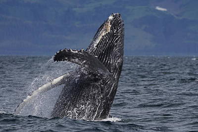 Humpback Whale Photograph - Humpback Whale Breaching Prince William by Hiroya Minakuchi