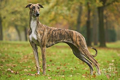 Hungarian Greyhound Art Print by Jean-Michel Labat