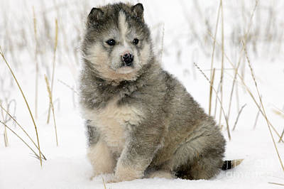 Dog In Snow Photograph - Husky Dog Puppy by M. Watson