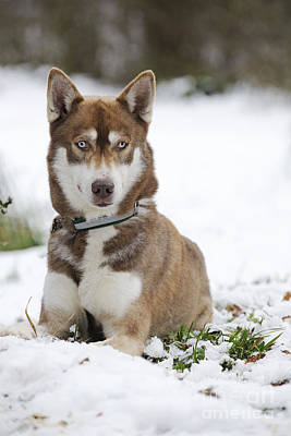 Dog In Snow Photograph - Husky In Snow by John Daniels