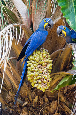 Three Brothers Photograph - Hyacinth Macaws Anodorhynchus by Panoramic Images