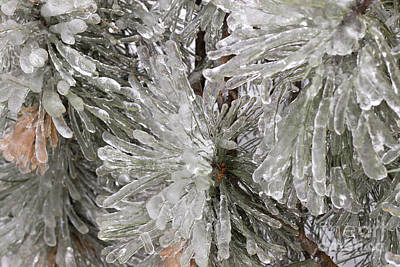 Photograph - Ice On Pine Branches by Blink Images