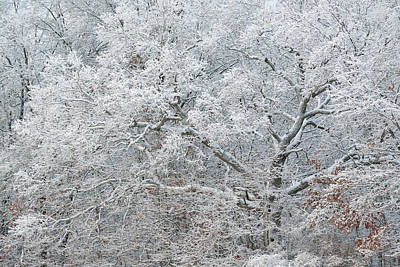 Modern Sophistication Beaches And Waves - Iced and Snow Flocked Trees by Dean Pennala