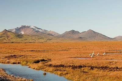 Tundra Swan Photograph - Icelandic Sheep by Ashley Cooper