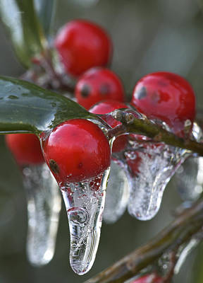 Photograph - Icicles On Berries by Byron Jorjorian