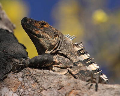 Photograph - Iguana by Coby Cooper