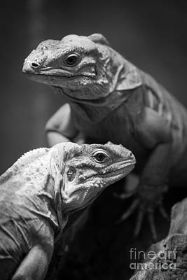 Photograph - Iguanas by Craig Dingle