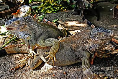 Photograph - Iguanas by Olga Hamilton