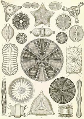 Illustration Shows Algae. Diatomea. - Schachtellinge Art Print