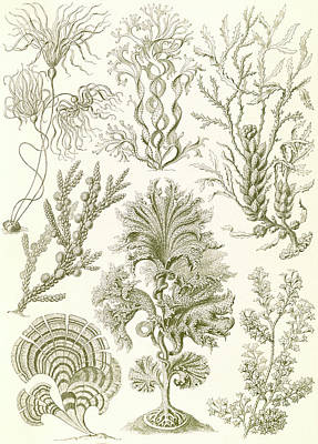 Illustration Shows Algae. Fucoideae. - Brauntange Art Print