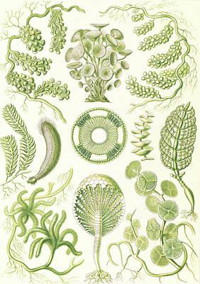 Seaweed Drawing - Illustration Shows Seaweed. Siphoneae. - Riesen-algetten by Artokoloro