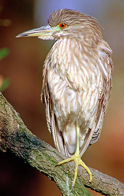 Photograph - Immature Black-crowned Night-heron by Millard H. Sharp