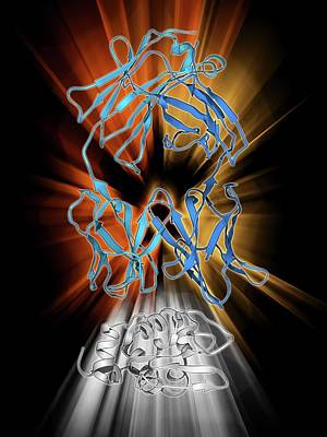 Molecular Structure Photograph - Immunoglobulin G Antibody And Egg White by Laguna Design
