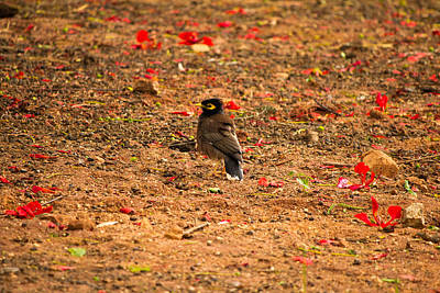 Common Myna Photograph - In The Middle by Saurav Pandey