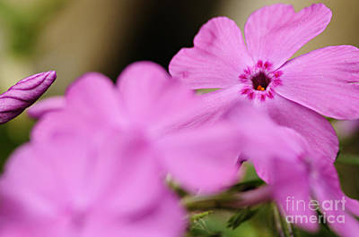 Spring Beauty Photograph - In The Pink by Larry Ricker