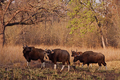 Bison Photograph - Indian Gaurs In The Summer Grassland by Jagdeep Rajput