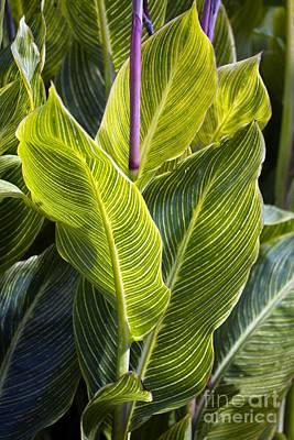 Indian Shot Plant Canna Striata Art Print by Dr. Keith Wheeler