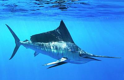 Indo-pacific Sailfish Art Print by Christopher Swann
