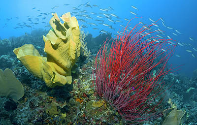 Gorgonian Photograph - Indonesia, Raja Ampat by Jaynes Gallery