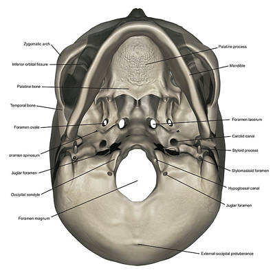 Inferior View Of Human Skull Anatomy Art Print