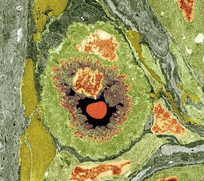 Intestinal Arteriole, Tem Art Print by Science Photo Library