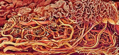 Intestinal Blood Vessels Art Print by Susumu Nishinaga