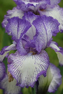 Photograph - Iris 10 by Allen Beatty