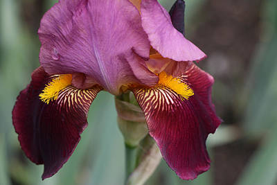 Photograph - Iris 18 by Allen Beatty