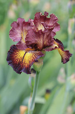 Iris Flower Art Print