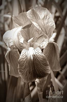 Neurotic Images Photograph - Iris In Sepia by Chalet Roome-Rigdon