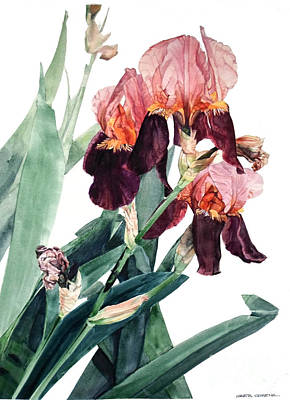 Painting - Watercolor Of A Pink And Maroon Tall Bearded Iris I Call Iris La Forza Del Destino by Greta Corens