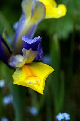 Photograph - Iris by Nigel Watts