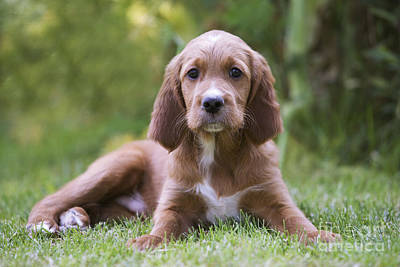 Photograph - Irish Setter Puppy by Jean-Michel Labat