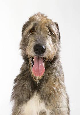 Irish Wolfhound Photograph - Irish Wolfhound by John Daniels