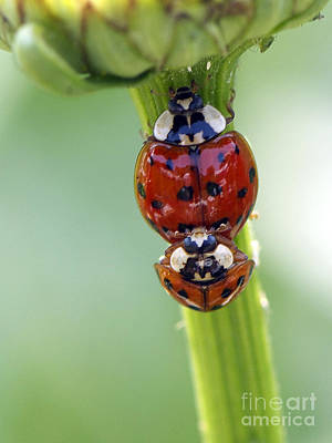 Ladybug Photograph - It Takes Two by Sharon Talson