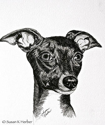 Drawing - Italian Greyhound by Susan Herber