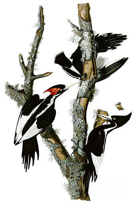 Woodpecker Drawing - Ivory-billed Woodpecker  by Celestial Images