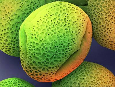 Angiosperms Photograph - Ivy Pollen (hedera Helix) by Steve Gschmeissner