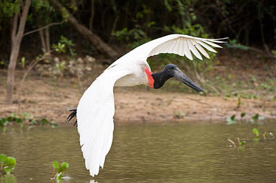 Close Focus Nature Scene Photograph - Jabiru Stork Jabiru Mycteria In Flight by Panoramic Images