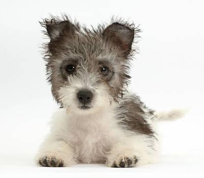 Jack Russell X Westie Pup Art Print
