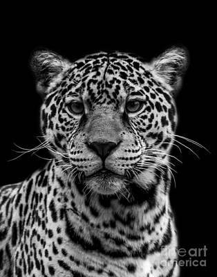 Photograph - Jaguar Four by Ken Frischkorn