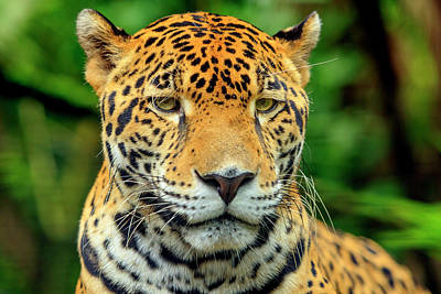 Belize Photograph - Jaguar (panthera Onca by Stuart Westmorland