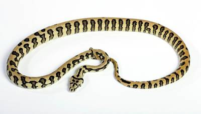 Burmese Python Wall Art - Photograph - Jaguar Variant Carpet Python by Pascal Goetgheluck/science Photo Library