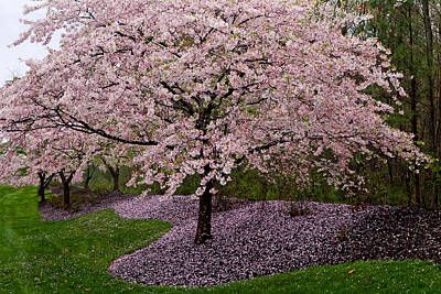 Photograph - Japanese Cherry Tree by Jerry Gammon