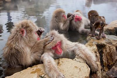 Animal Behavior Photograph - Japanese Macaque (macaca Fuscata by Peter Adams
