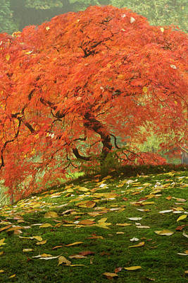 Sutton Photograph - Japanese Maple In Fall Color by William Sutton