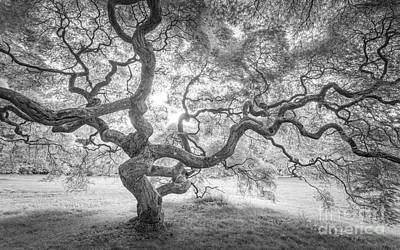 Japanese Maple Tree Bw Original